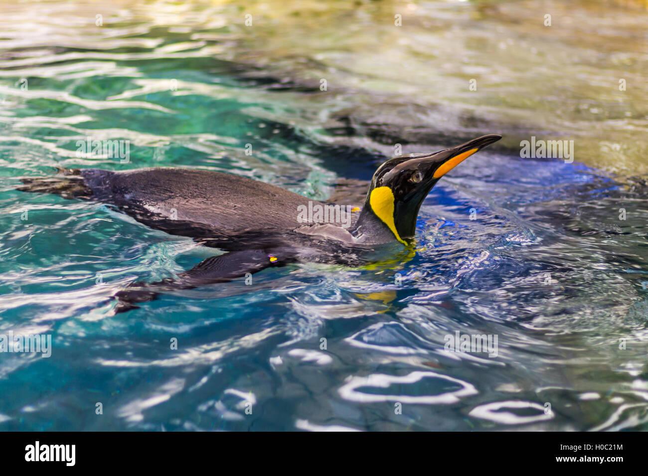 Pinguino nuoto Immagini Stock