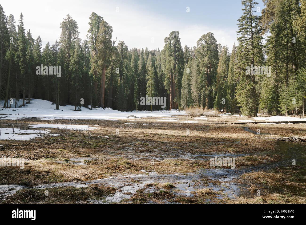 Un piccolo ruscello in esecuzione attraverso la California's Sequoia National Park Immagini Stock