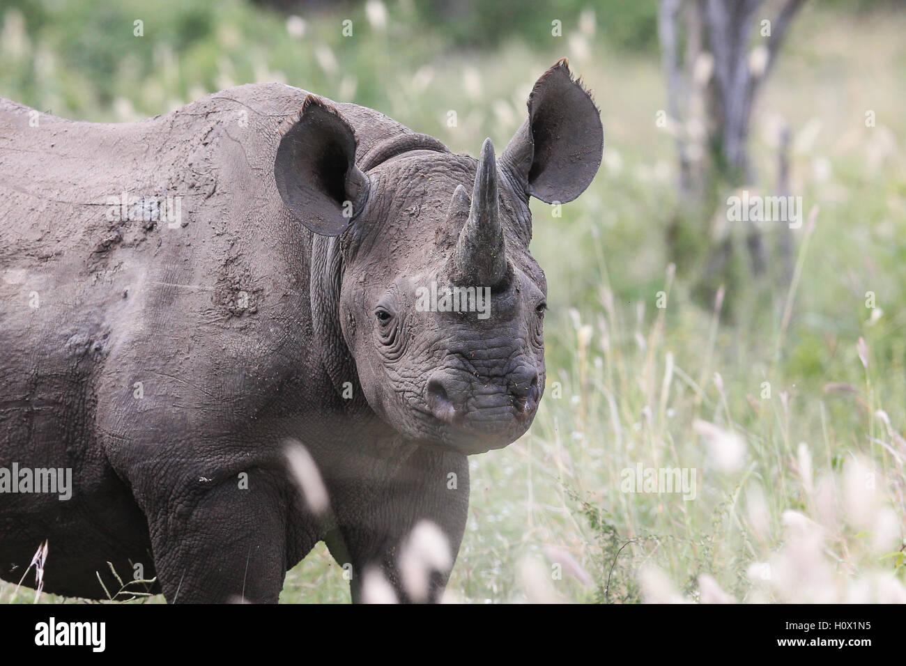 Il rinoceronte nero nel parco nazionale Kruger Sud Africa Immagini Stock