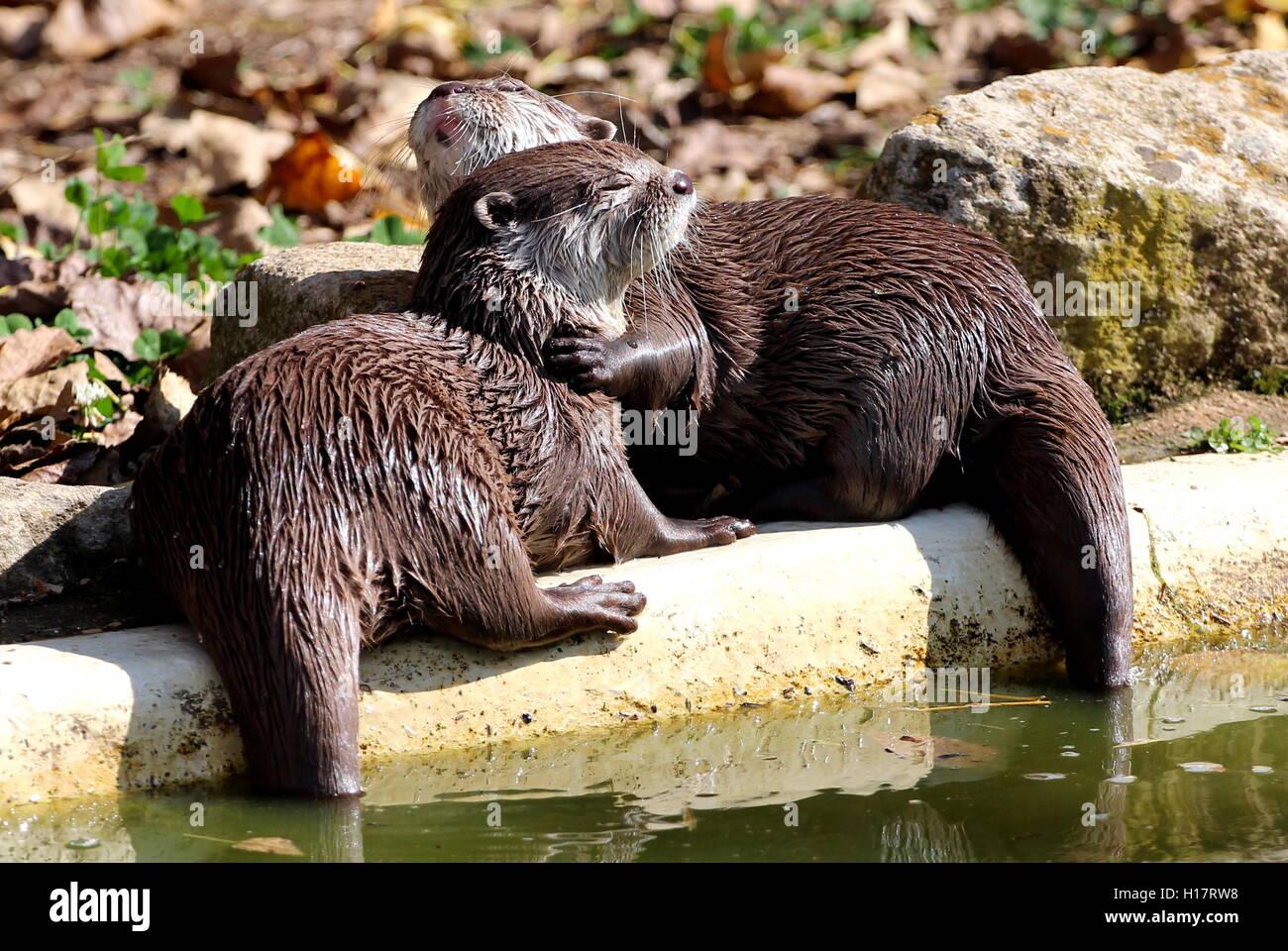 Lontre che stringono a sé Immagini Stock