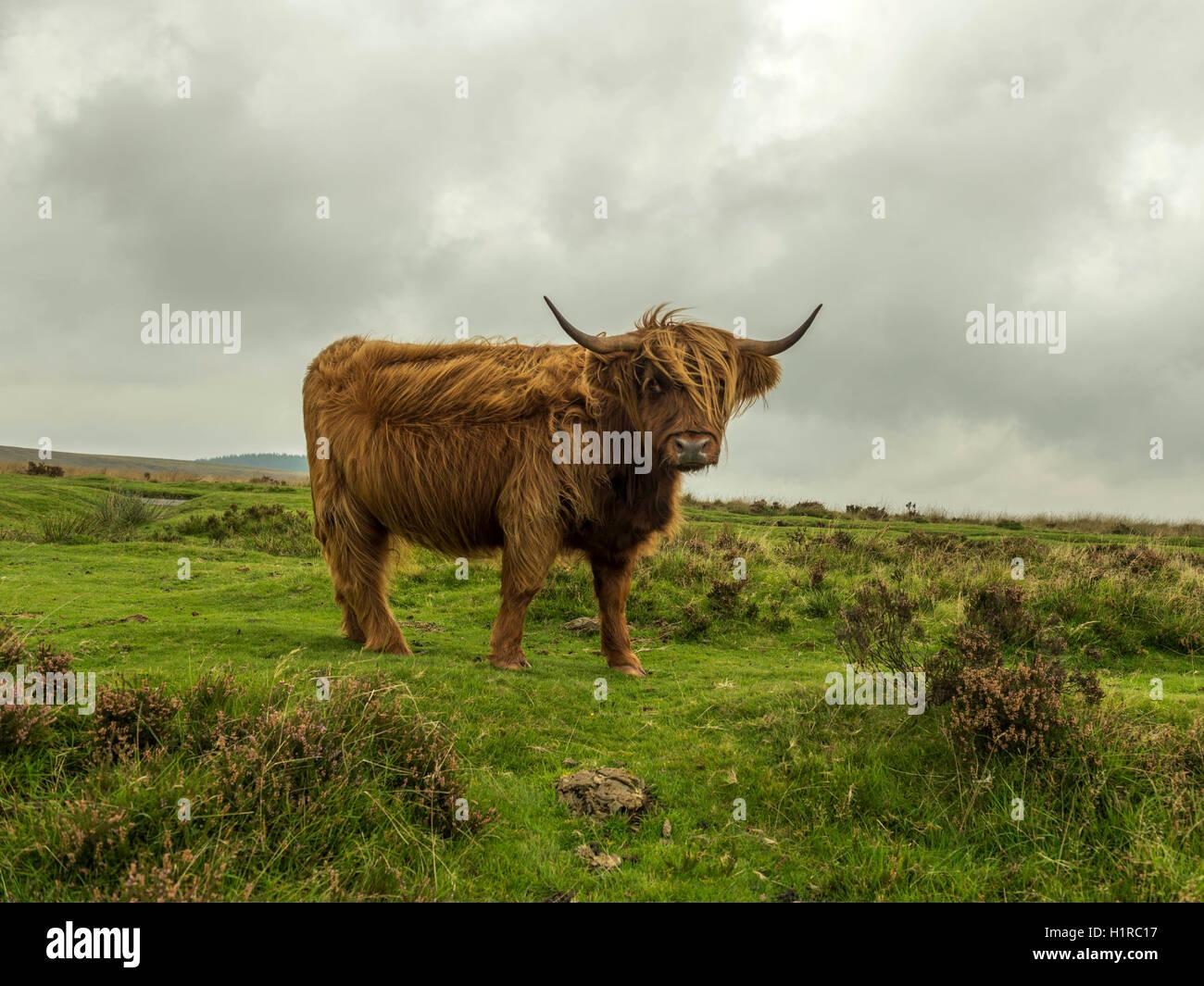 Highland bestiame al pascolo in primo piano all'interno del Parco Nazionale di Dartmoor vicino Lettaford, Devon Immagini Stock