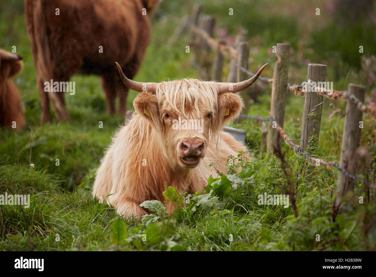 Highland bestiame al Alverstone sull'Isola di Wight Immagini Stock