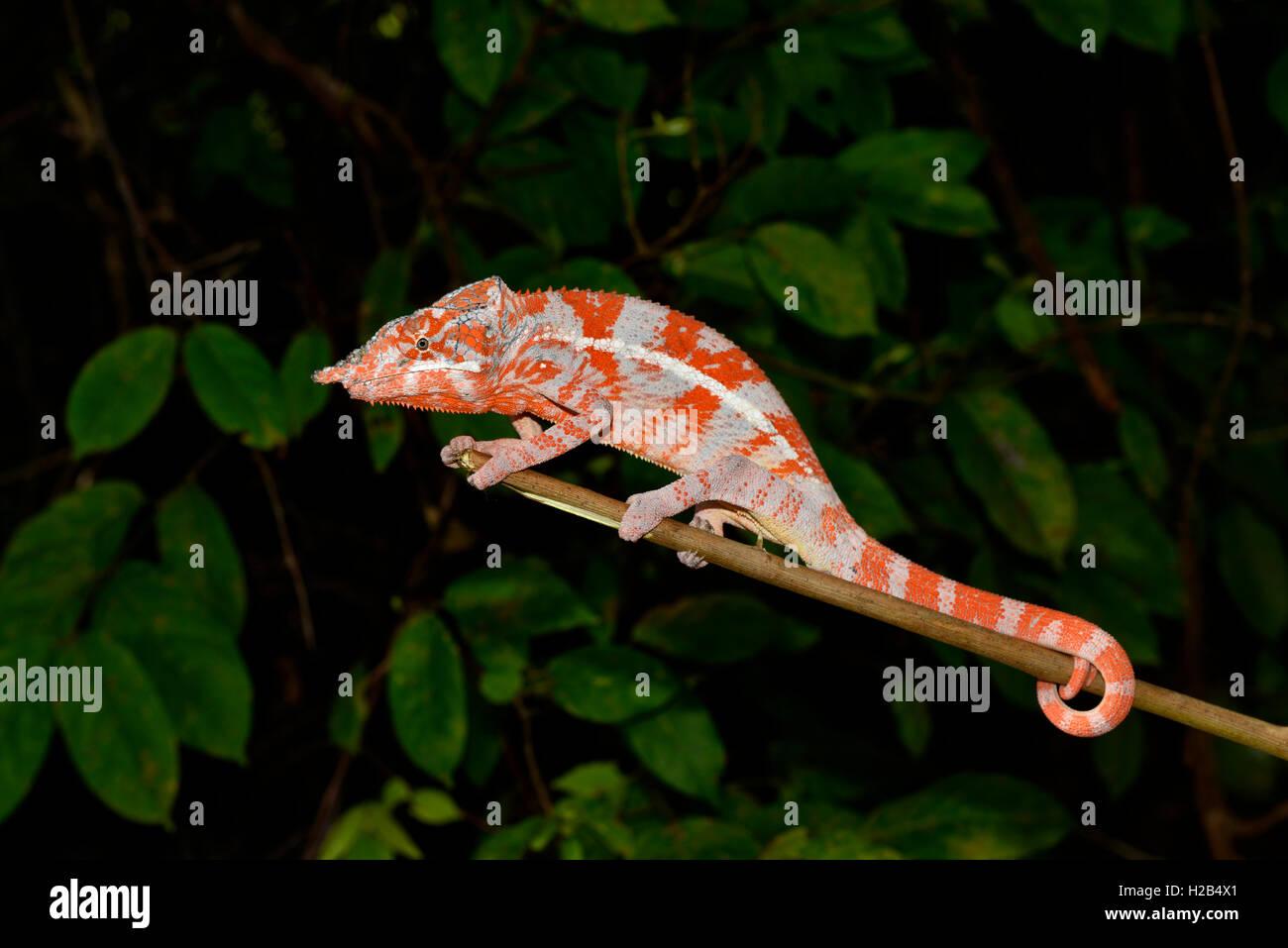 Angelo chameleon (Furcifer angeli), maschio, rare, foresta secca, a nord-ovest del Madagascar Immagini Stock