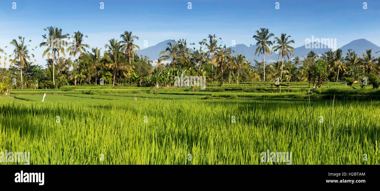 Indonesia, Bali, Susut, la coltura del riso in campi in montagna con western vulcani (Gunung Batukaru, Leson, Pohen, Immagini Stock