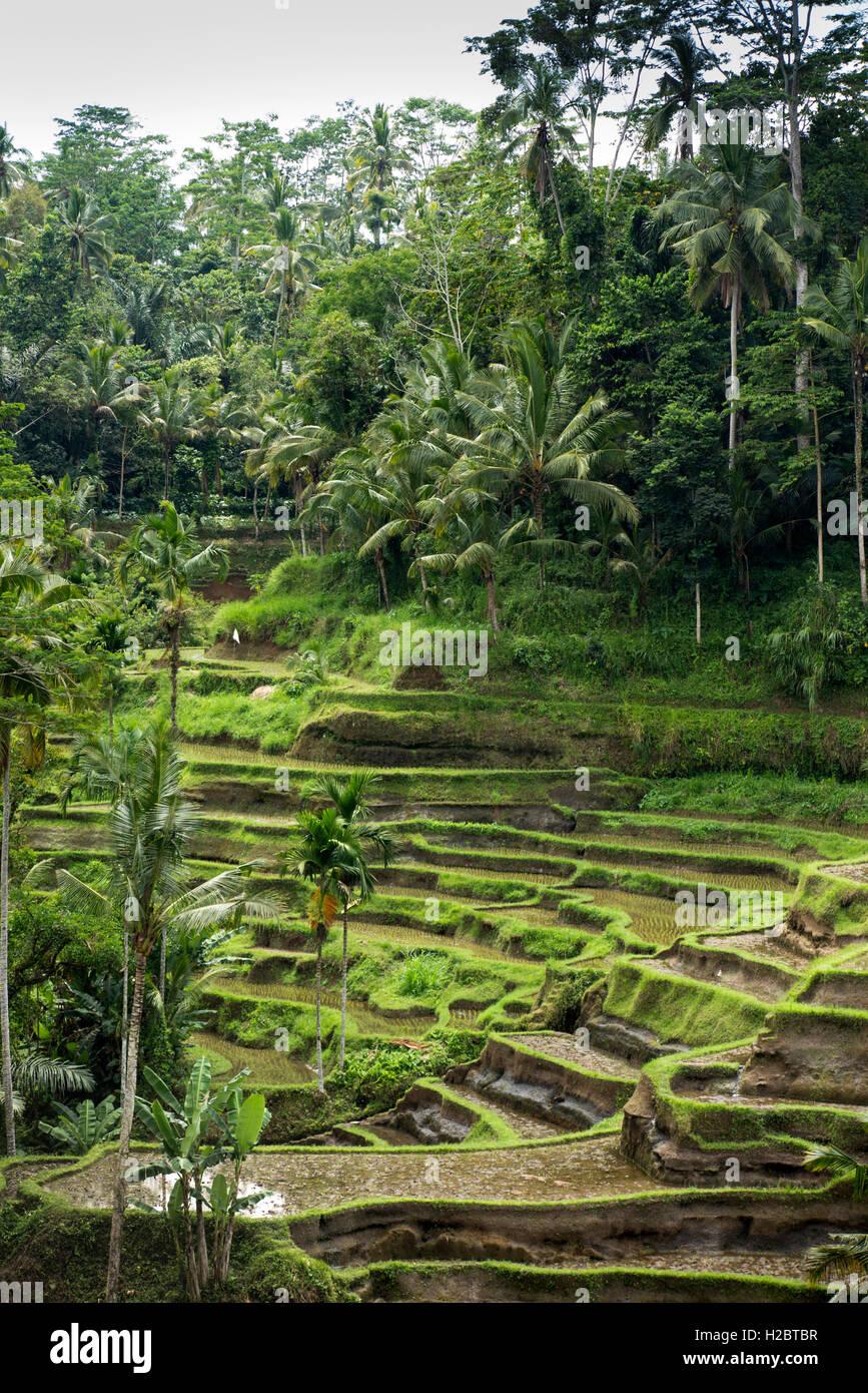 Indonesia, Bali, Tegallang, attraenti terrazze di riso sulla ripida collina Immagini Stock