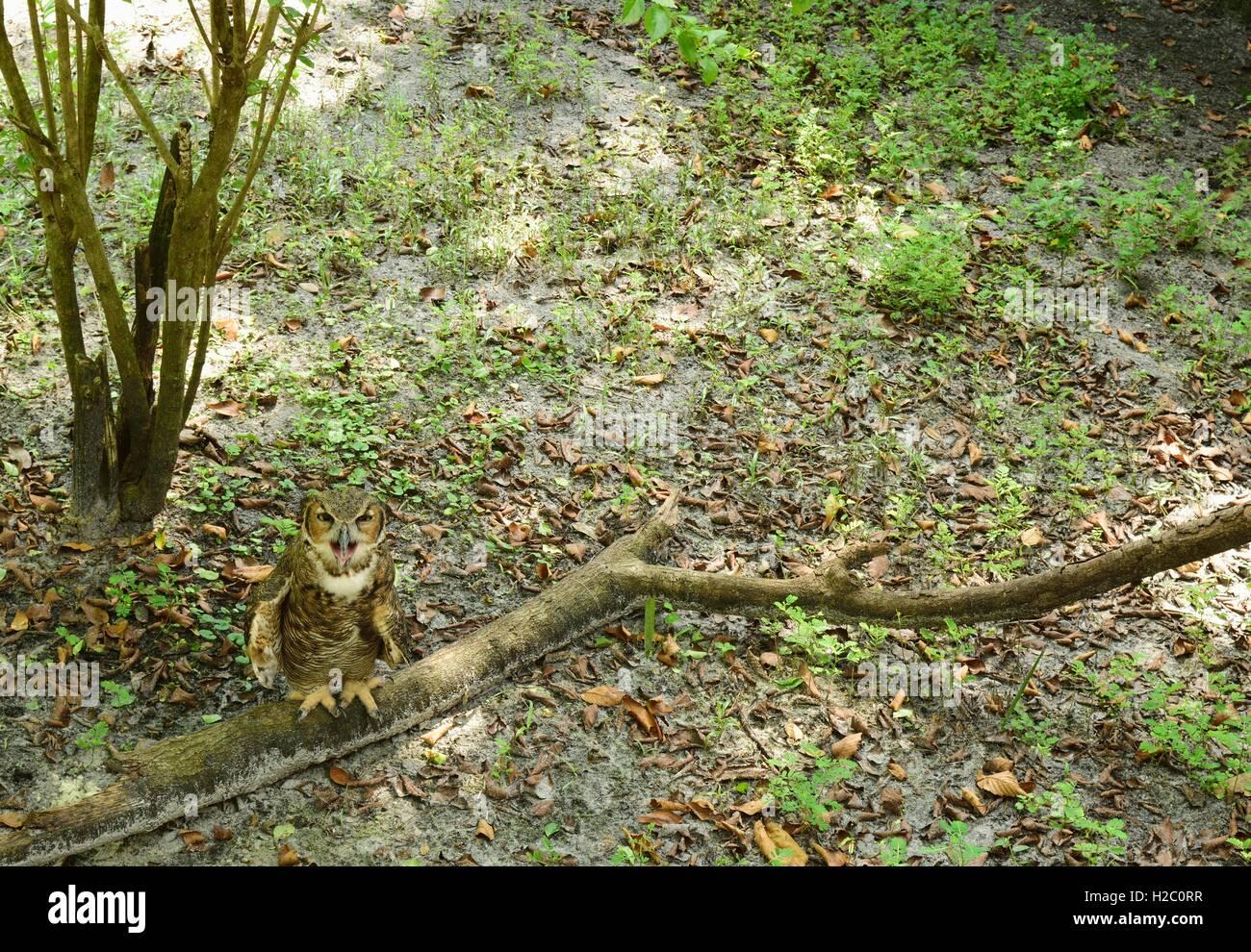 Addolorato il gufo seduto su un ramo sul terreno. Immagini Stock