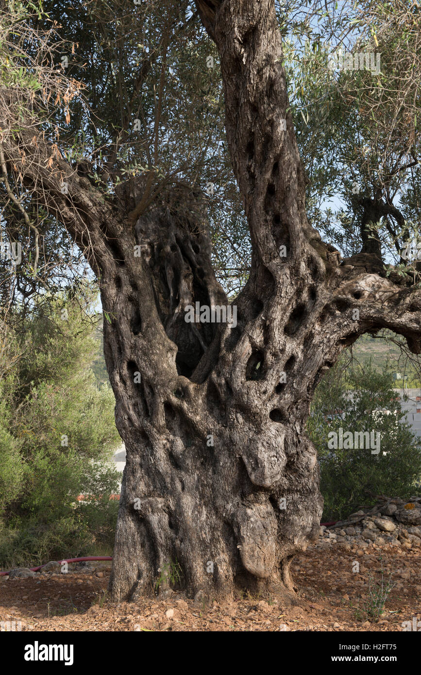Vecchio olivo con trunk strutturato, (Olea europaea), Llibier, provincia di Alicante, Spagna Immagini Stock