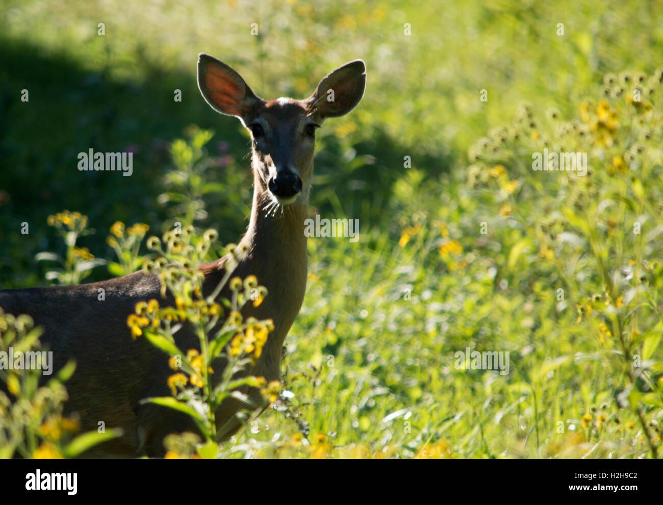 Il cervo il peering attraverso fogliame Immagini Stock