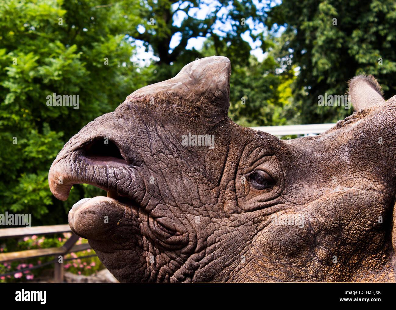 Rhino presso lo Zoo di Edimburgo Immagini Stock