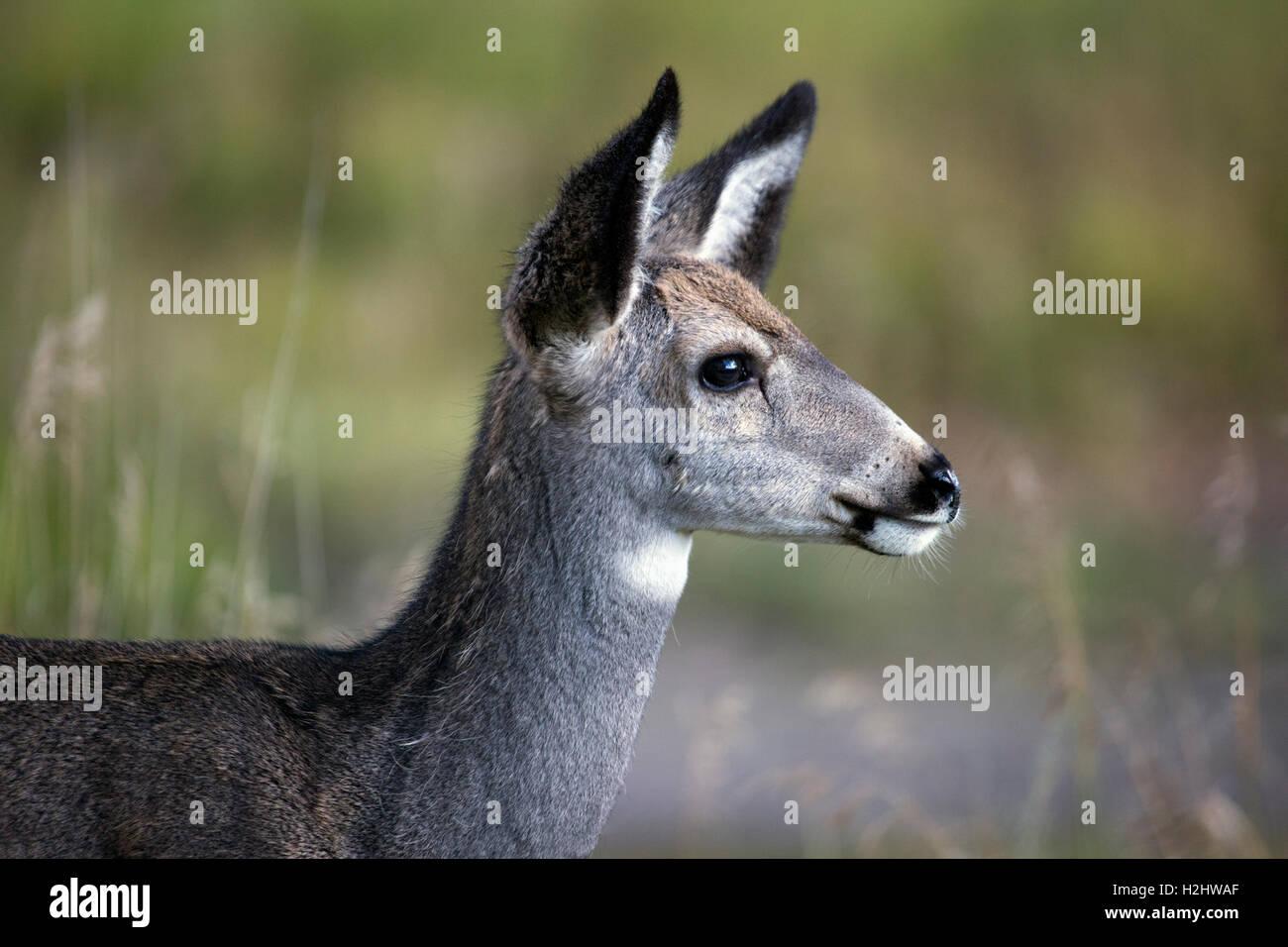 Mule Deer (Odocoileus hemionus) nel santuario urbano Immagini Stock