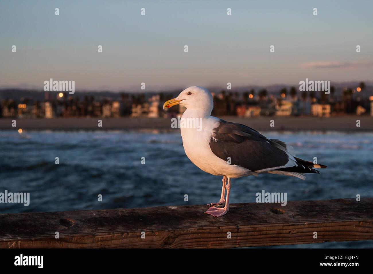 Sea Gull su pier Immagini Stock