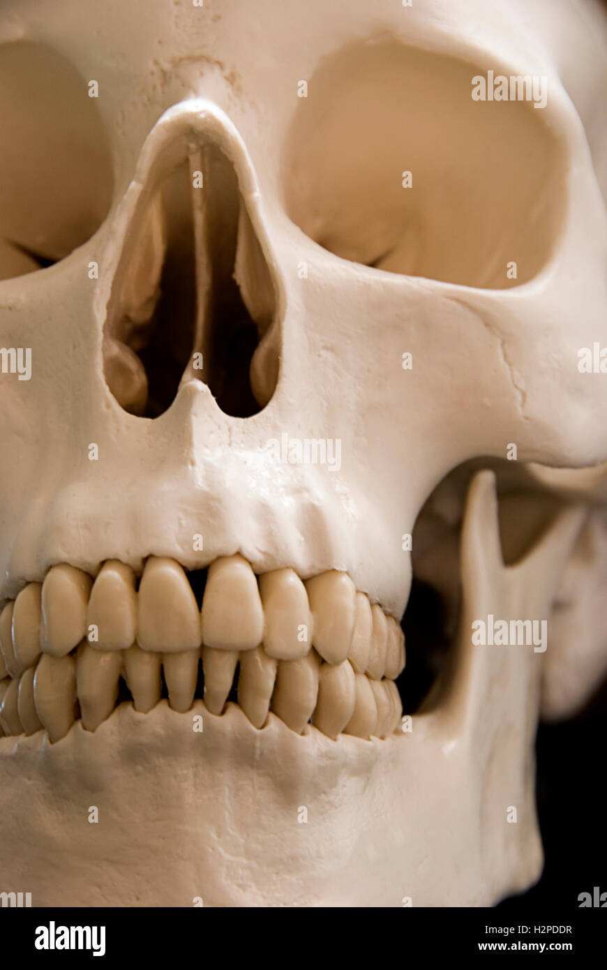 Cranio umano closeup Immagini Stock