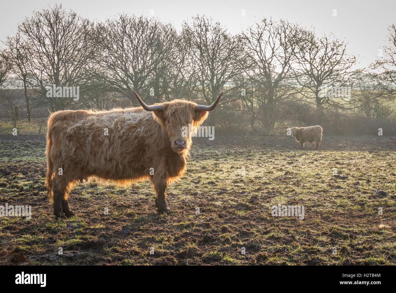 Highland mucca con le corna al sorgere del sole in inverno con nebbia Immagini Stock