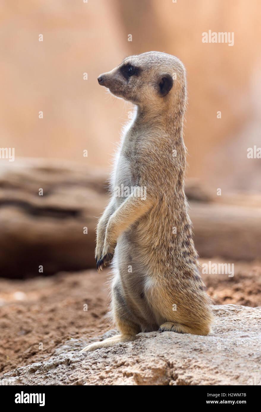 Un meerkat in piedi in posa tipica Immagini Stock