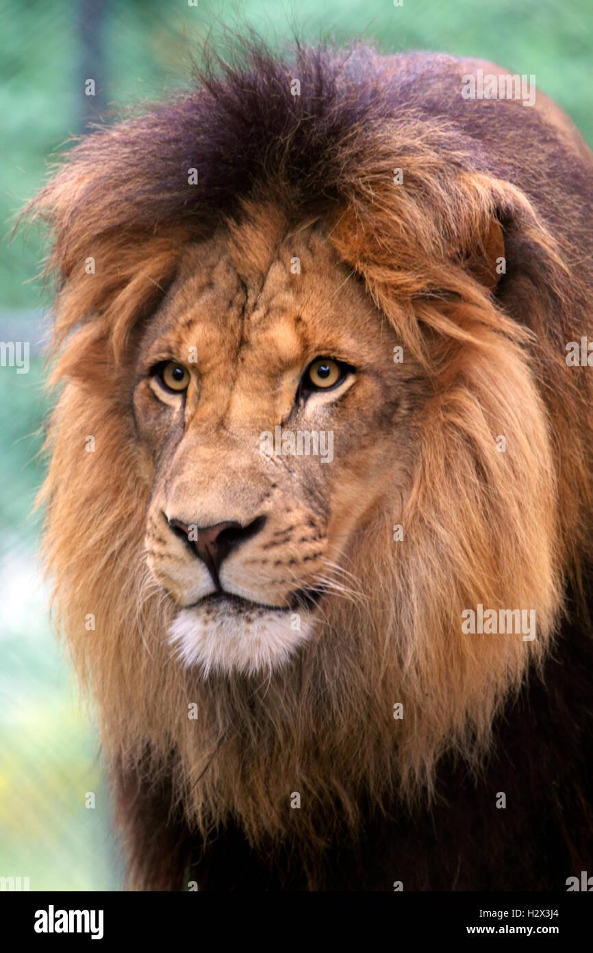 Leone africano, Panthera leo, presso il Cape May County Zoo, New Jersey, STATI UNITI D'AMERICA Immagini Stock