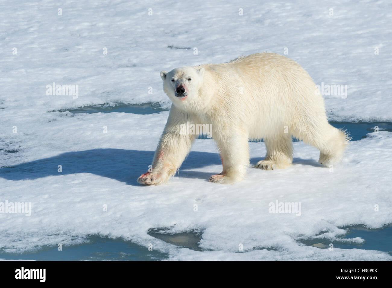 Maschio di Orso Polare (Ursus maritimus) passeggiate sulla banchisa, isola Spitsbergen, arcipelago delle Svalbard, Immagini Stock