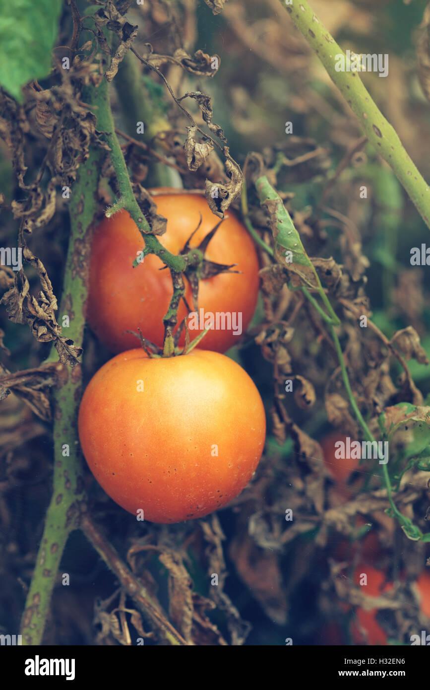 Organici di crescita di pomodoro, i prodotti maturi in un orto Immagini Stock