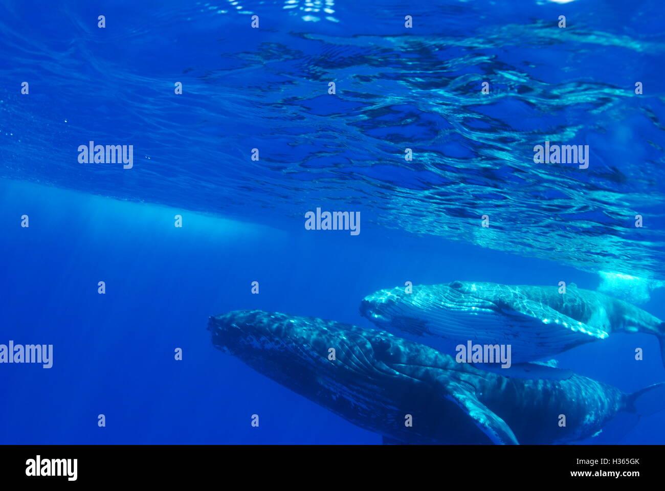 Humpback Whale, Megaptera noveangliae, Vava'u, Regno di Tonga Immagini Stock