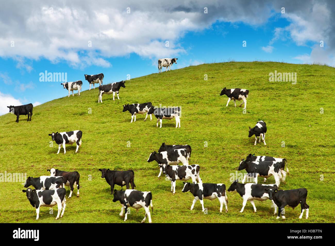 Vitelli al pascolo su una verde collina, Nuova Zelanda Immagini Stock