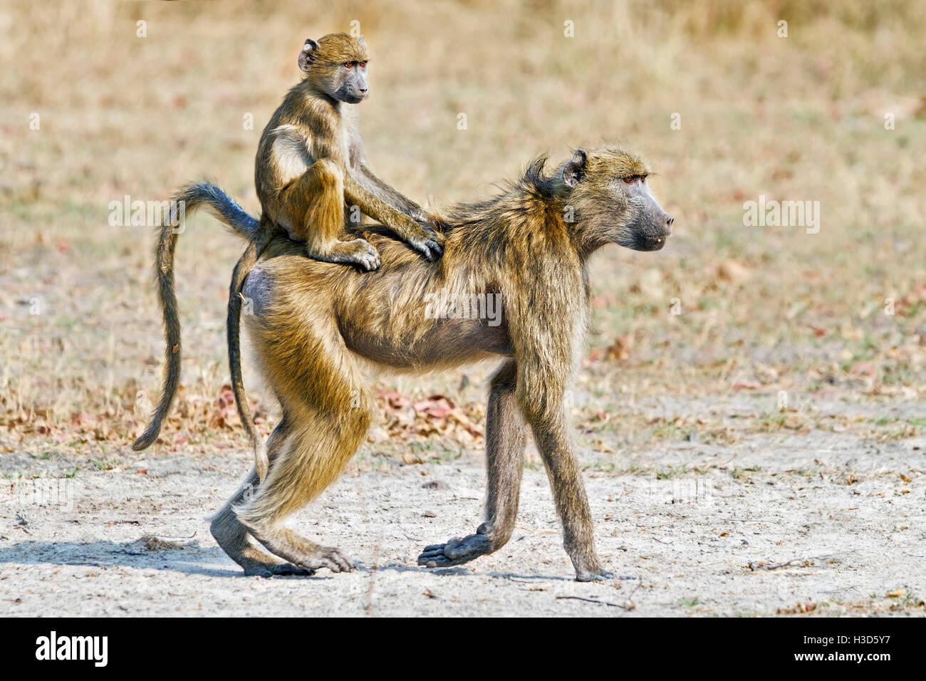 Un bambino di savana di equitazione di babbuino nel jockey posizione sulla sua madre la schiena, Mosi-oa-Tunya National Immagini Stock