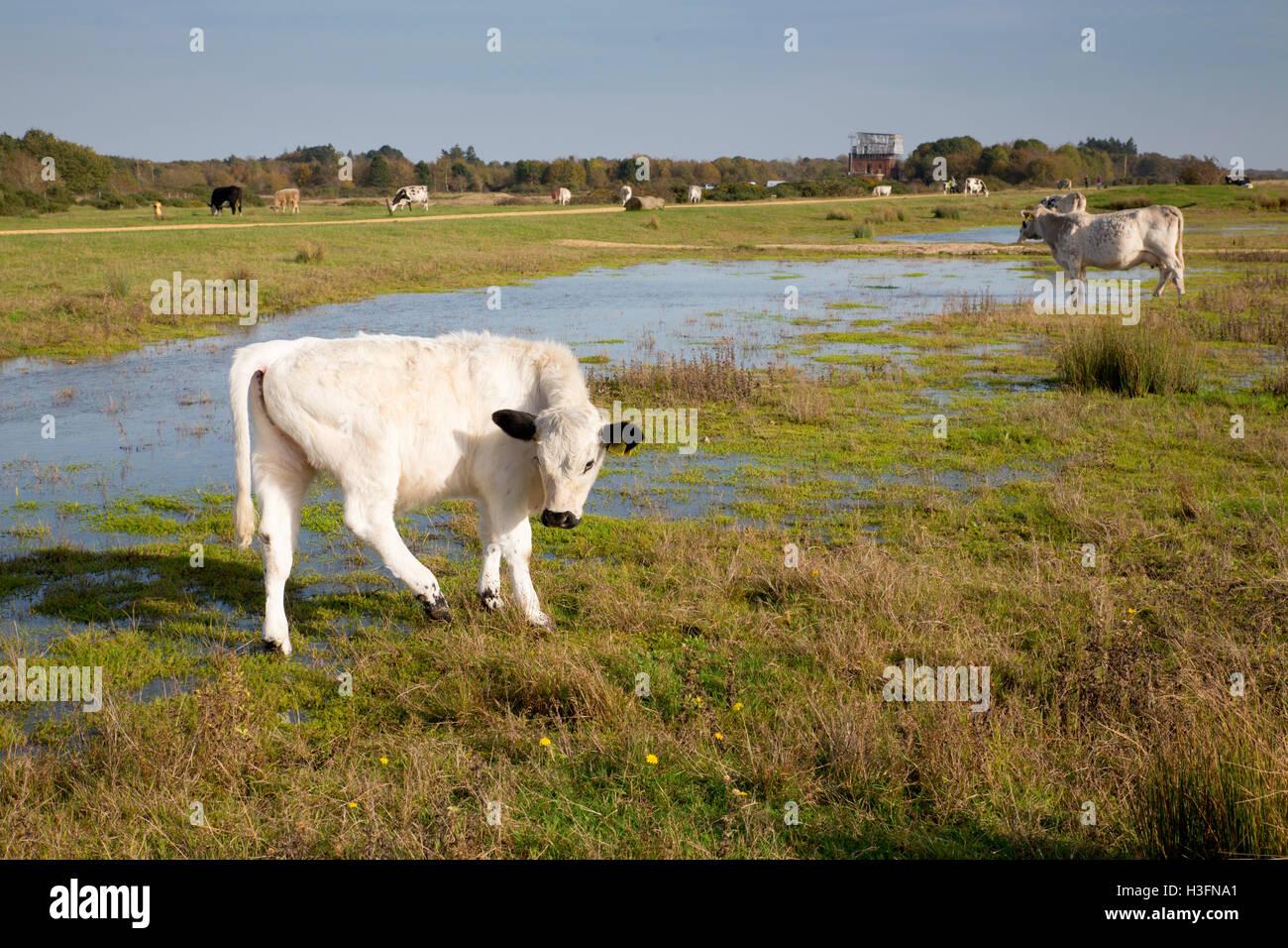 Greenham Common pascolo del bestiame Berkshire, Regno Unito Immagini Stock