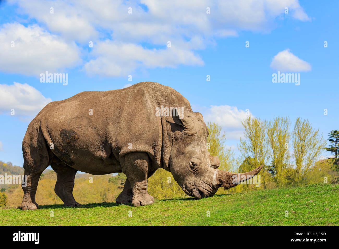 Il rinoceronte indiano nella bellissima West Midland Safari Park il Apr 23, 2016 a Spring Grove, Regno Unito Immagini Stock