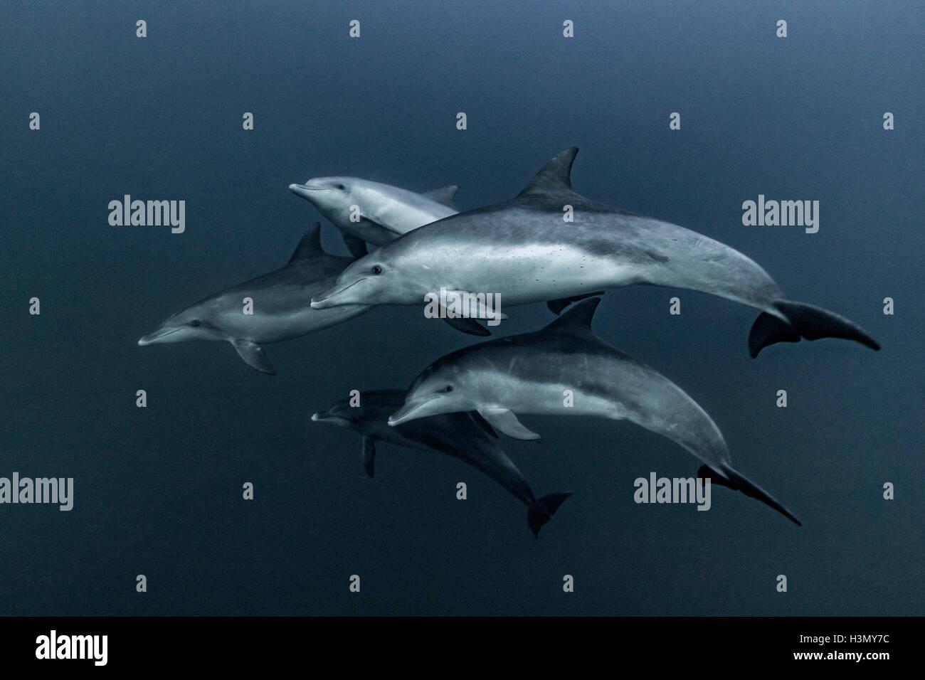Pod di delfini comuni caccia, Port St. Johns, Sud Africa Immagini Stock