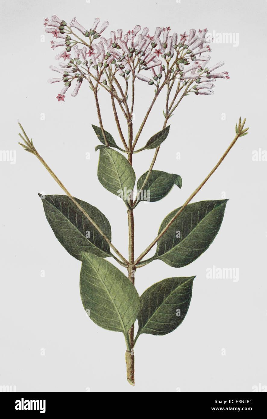 China pubescens, storico illustrazione, 1880 Immagini Stock