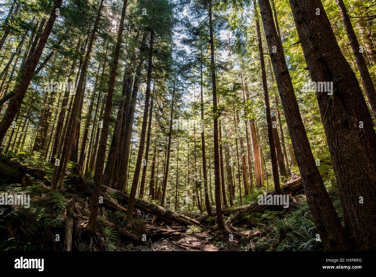 Avatar Grove - Port Renfrew, Isola di Vancouver, British Columbia, Canada Immagini Stock