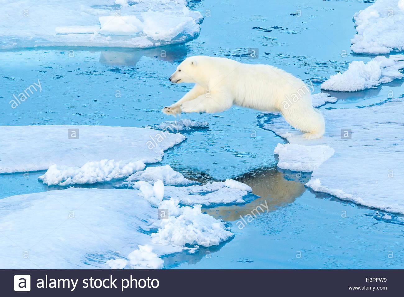 Un orso polare salta da glaçon al glaçon, Orso Polare passano in Lancaster Suono. Immagini Stock