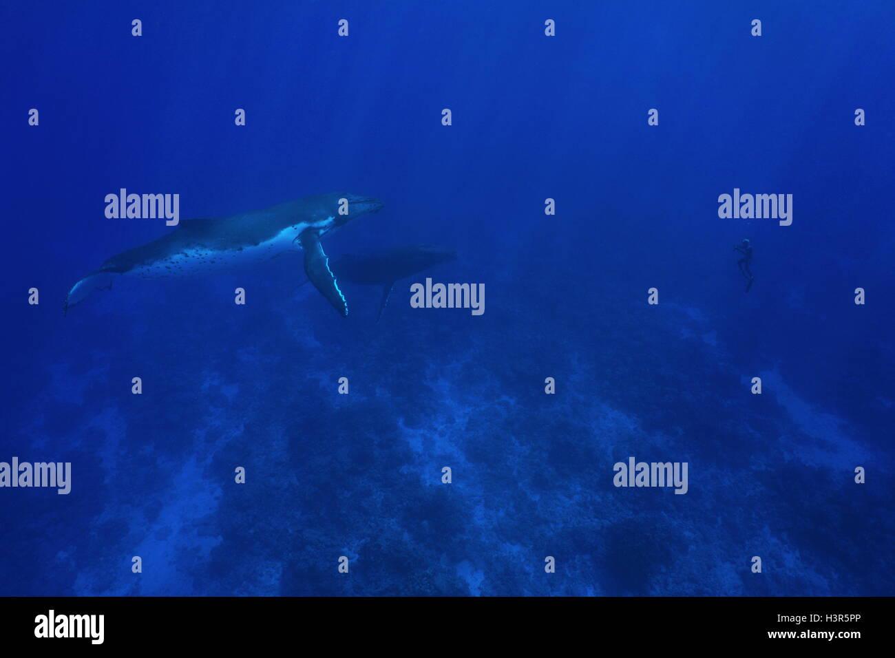 Due Humpback Whale subacquea, Megaptera novaeangliae, con un uomo in apnea davanti a loro, oceano pacifico, Polinesia Immagini Stock
