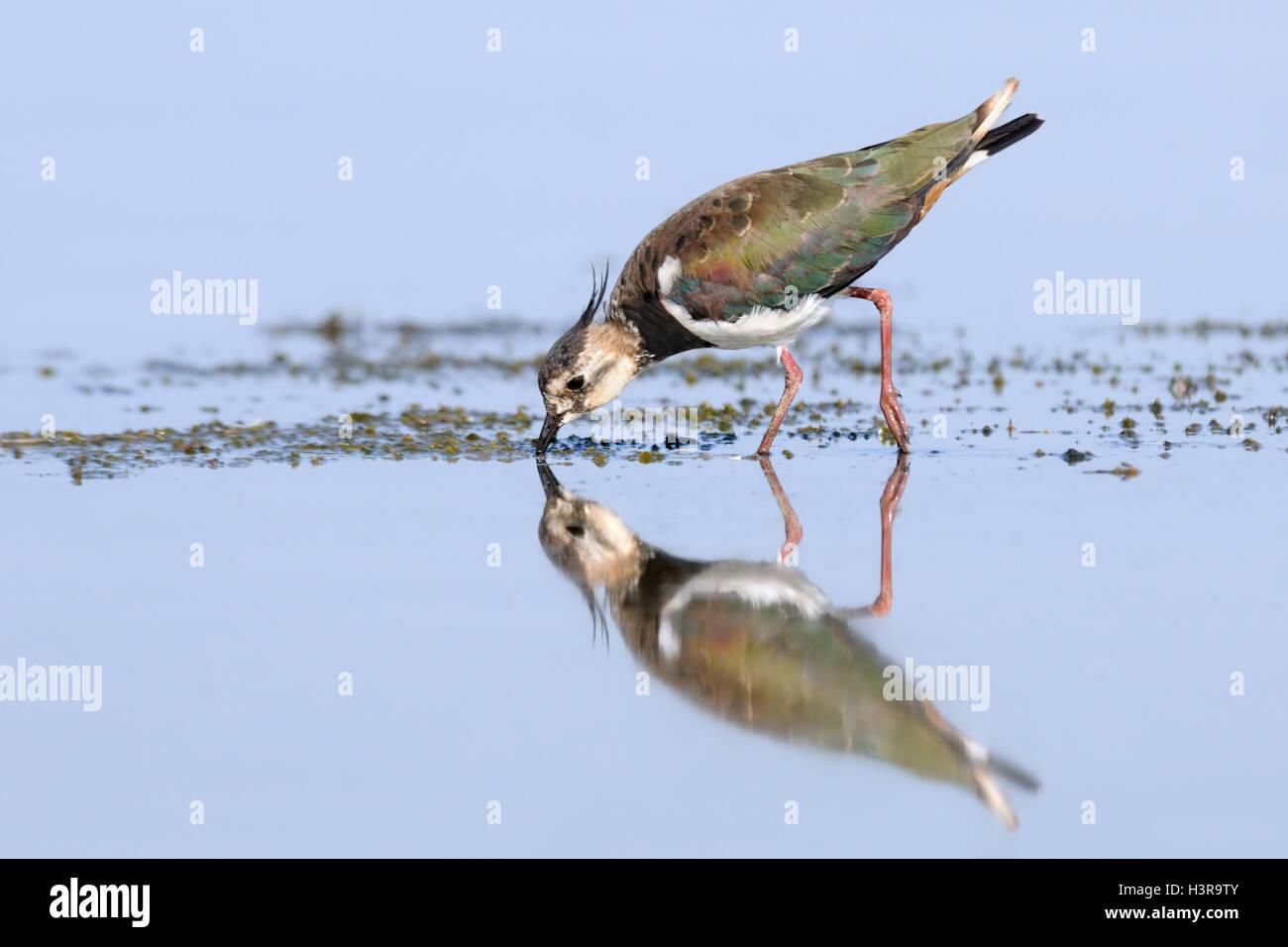 Riflesso Pavoncella (Vanellus vanellus) alimentazione al lago Manych. Kalmykia, Russia Immagini Stock
