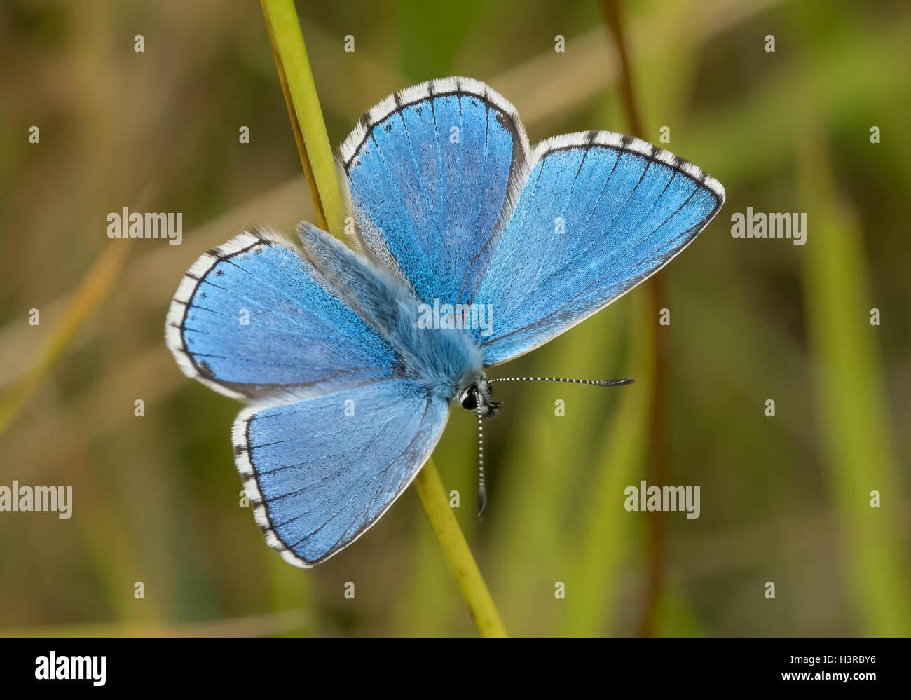 Adone maschio Blue Butterfly (Polyommatus / Lysandra bellargus) Immagini Stock