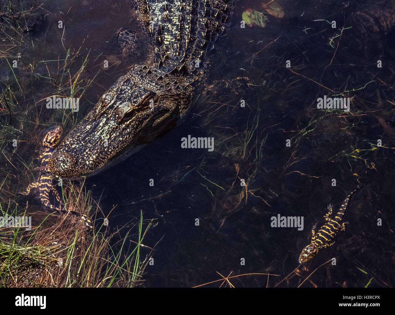 Due neonato American alligatori nuotare vicino a loro madre in Everglades National Park in Florida, Stati Uniti Immagini Stock