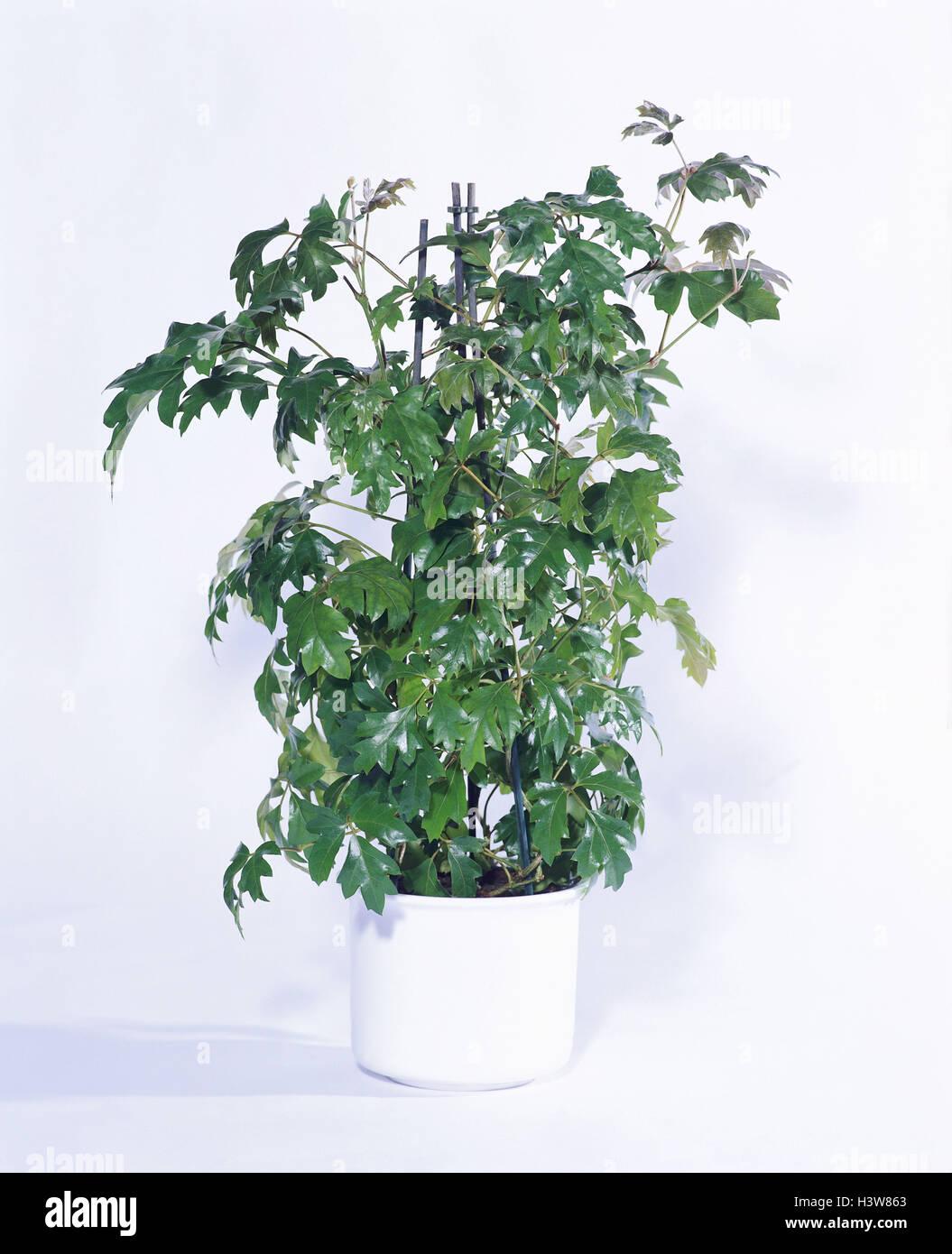 Piante Rampicanti Da Interno pianta rampicante, il segno del cancelletto di arrampicata