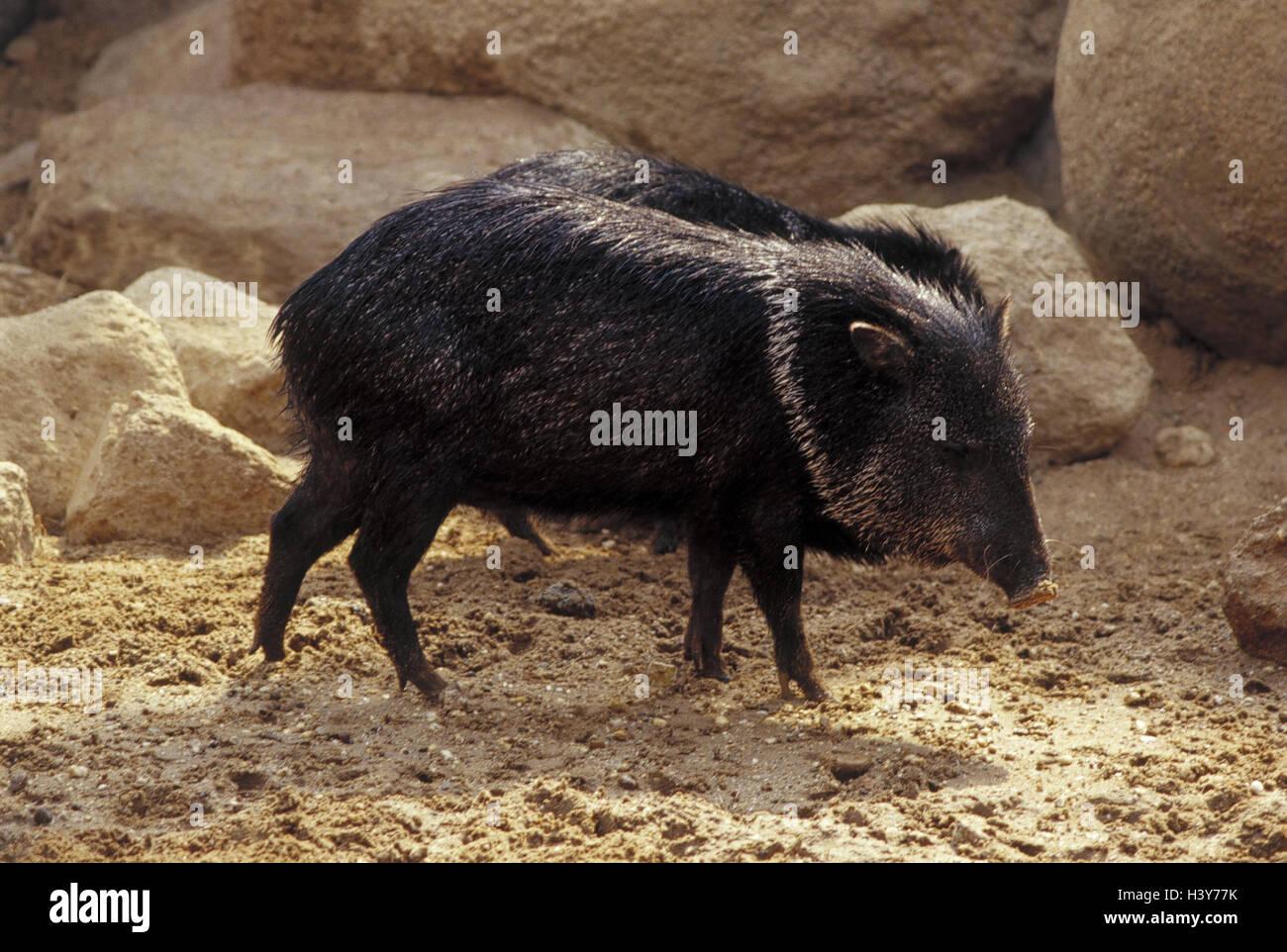 Animali Da Esterno zoo, halbandpekaris, tayassu tajacu, esterno, animali
