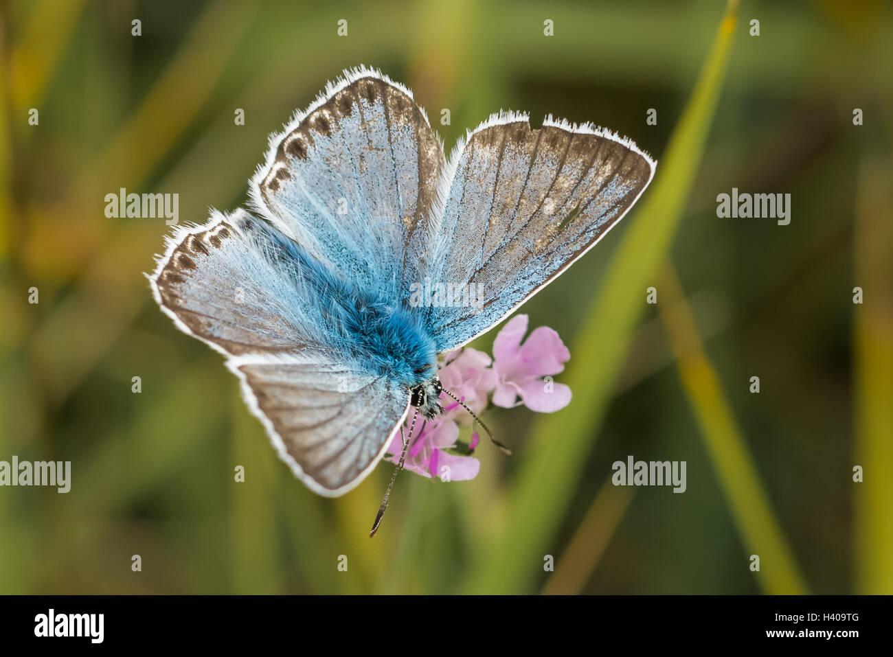 Chalkhill maschio Blue Butterfly (Polyommatus / Lysandra coridon) sul piccolo fiore Scabious Immagini Stock