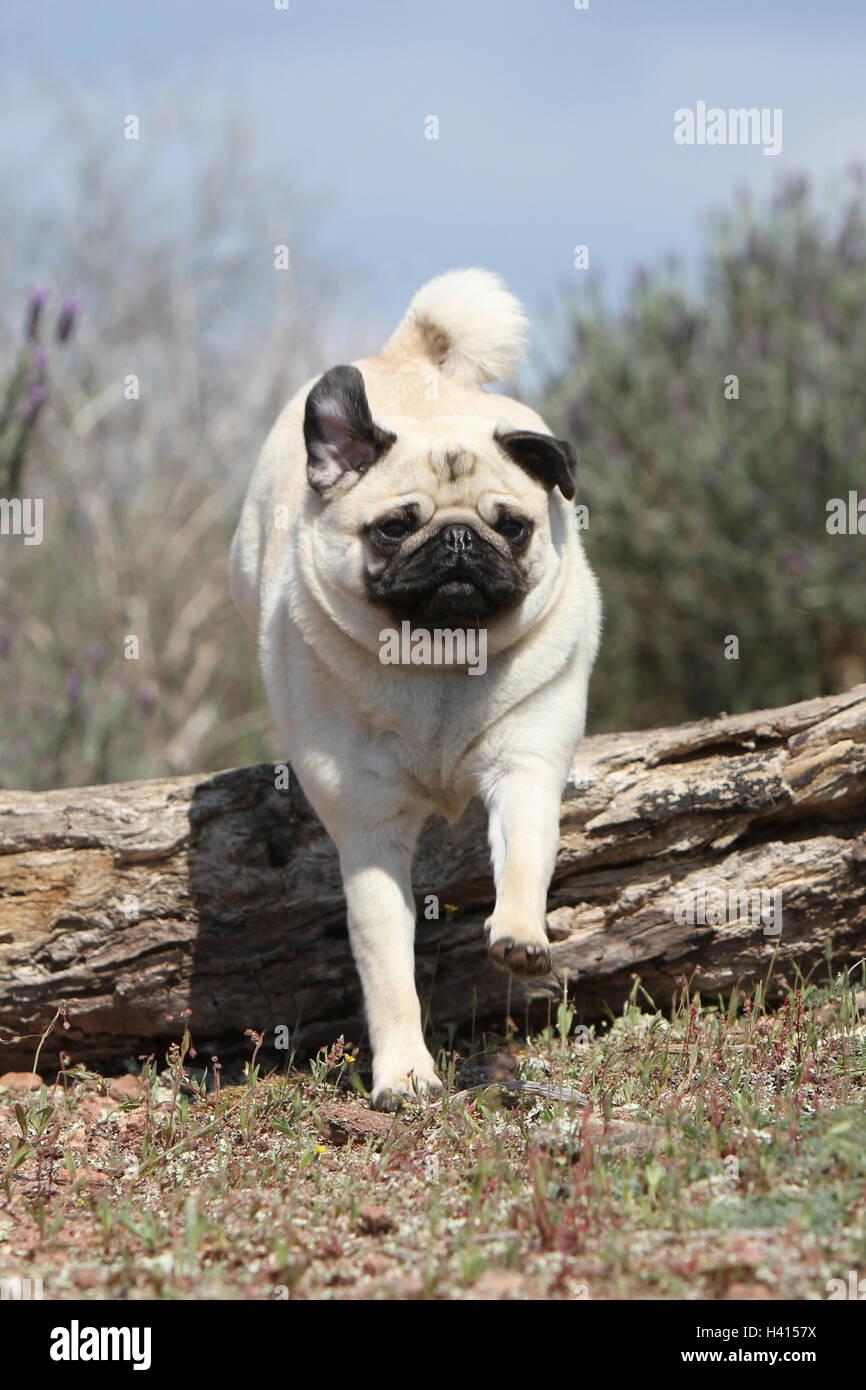 """Cane Pug / Carlin / Mops adulto grigio fulvo dray jump jumping """"al salto"""" oltre un legno tronco di albero Immagini Stock"""