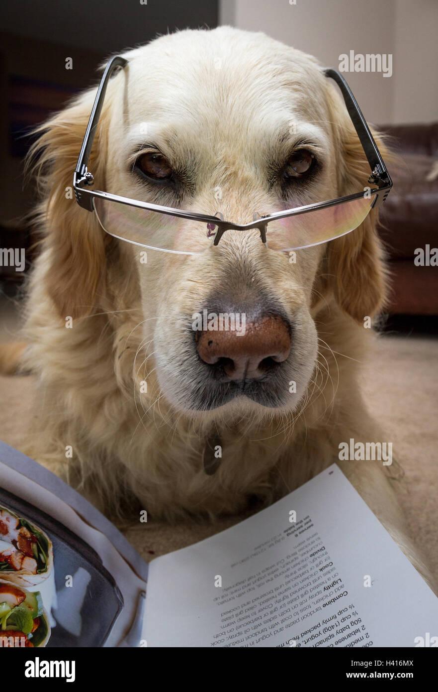 Cane alla ricerca intelligente con bicchieri e libro di ricette Immagini Stock