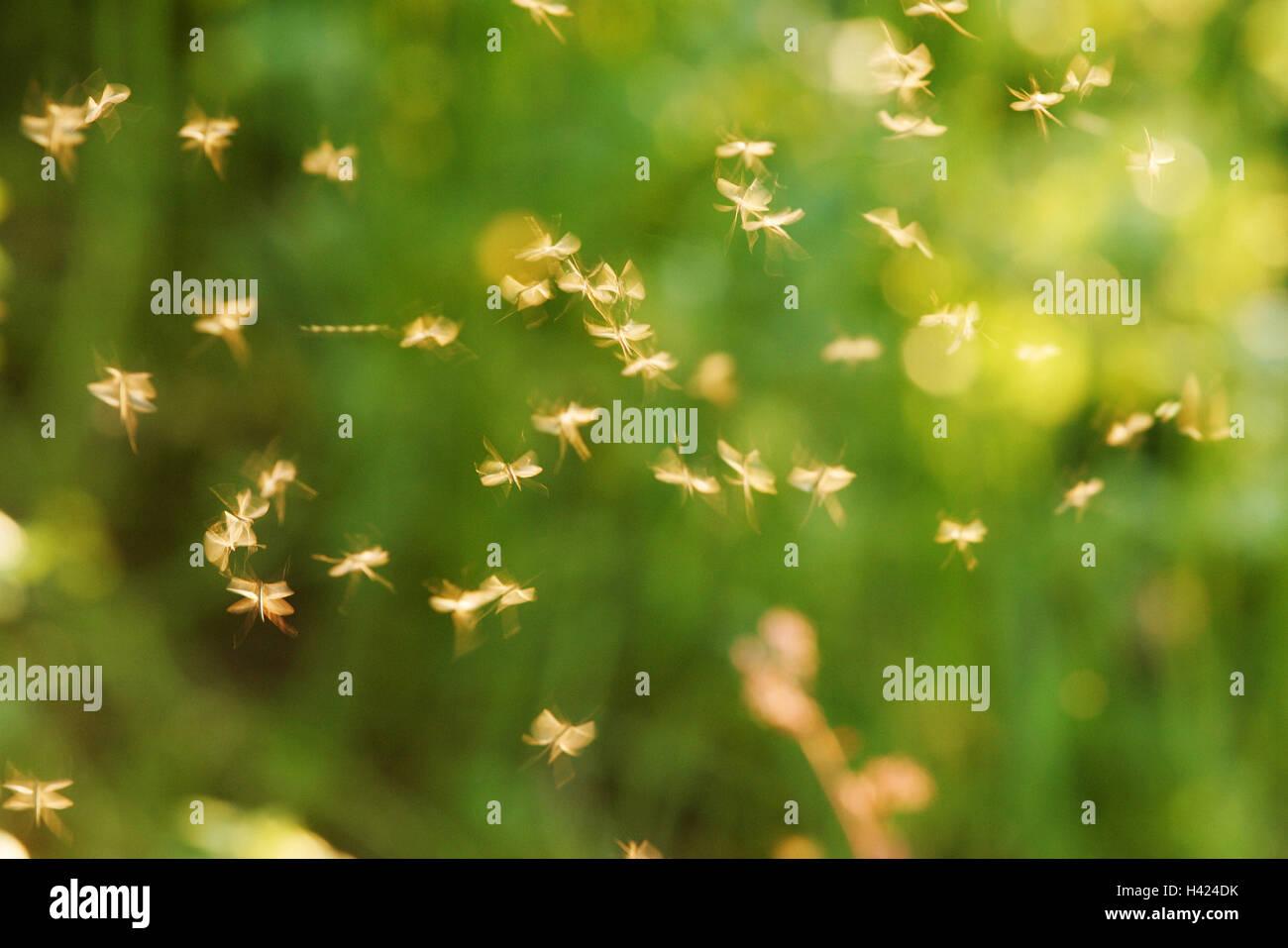 Sciame di zanzare, luce posteriore, insetti, Stechmücken, zanzare, zanzare, Gelsen, Culicidae, succhiasangue, Immagini Stock