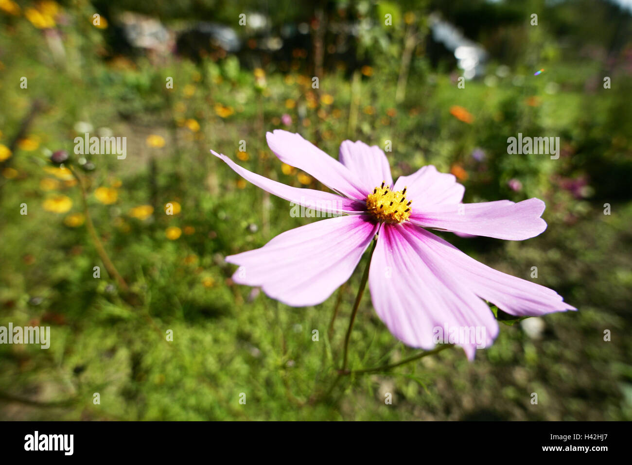 Prato kosmee cosmos bipinnatus dettaglio blossom rosa