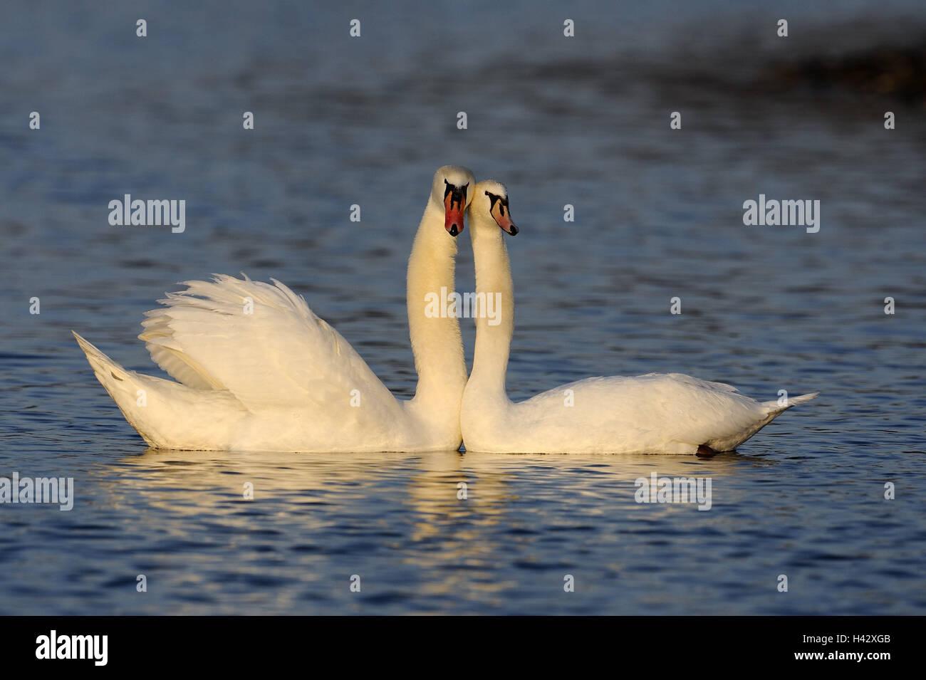Gobba cigni, Cygnus olor, due, acqua, nuoto, luce della sera, natura, animali, uccelli, cigni, coppie coniugate Immagini Stock