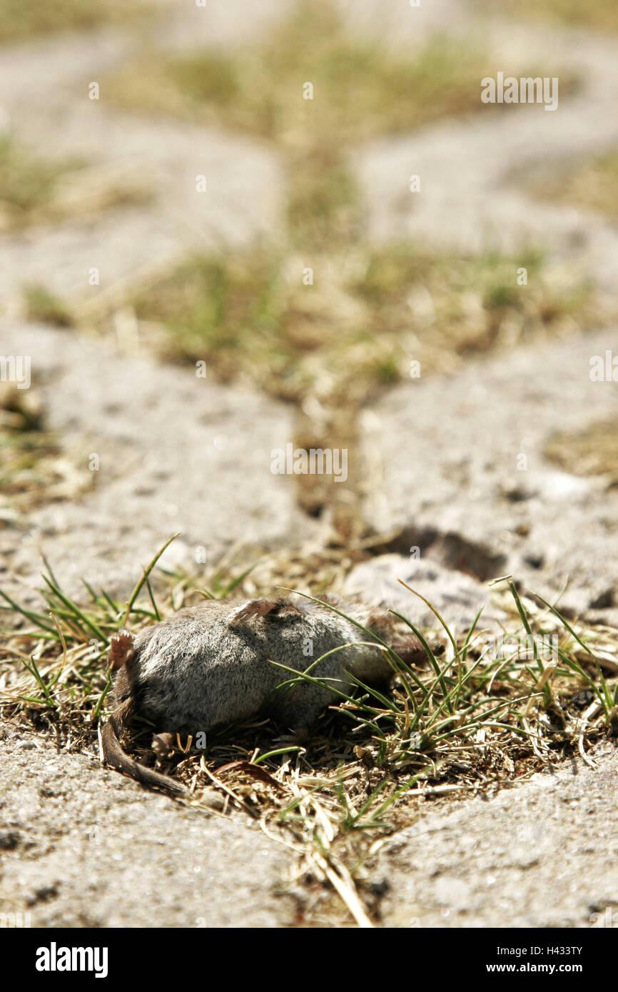 Vicolo del paese, mouse, poltiglia muscolo, mortale, modo, erba, pavimentazione di pietra, soggiorno-at-home, animale Immagini Stock