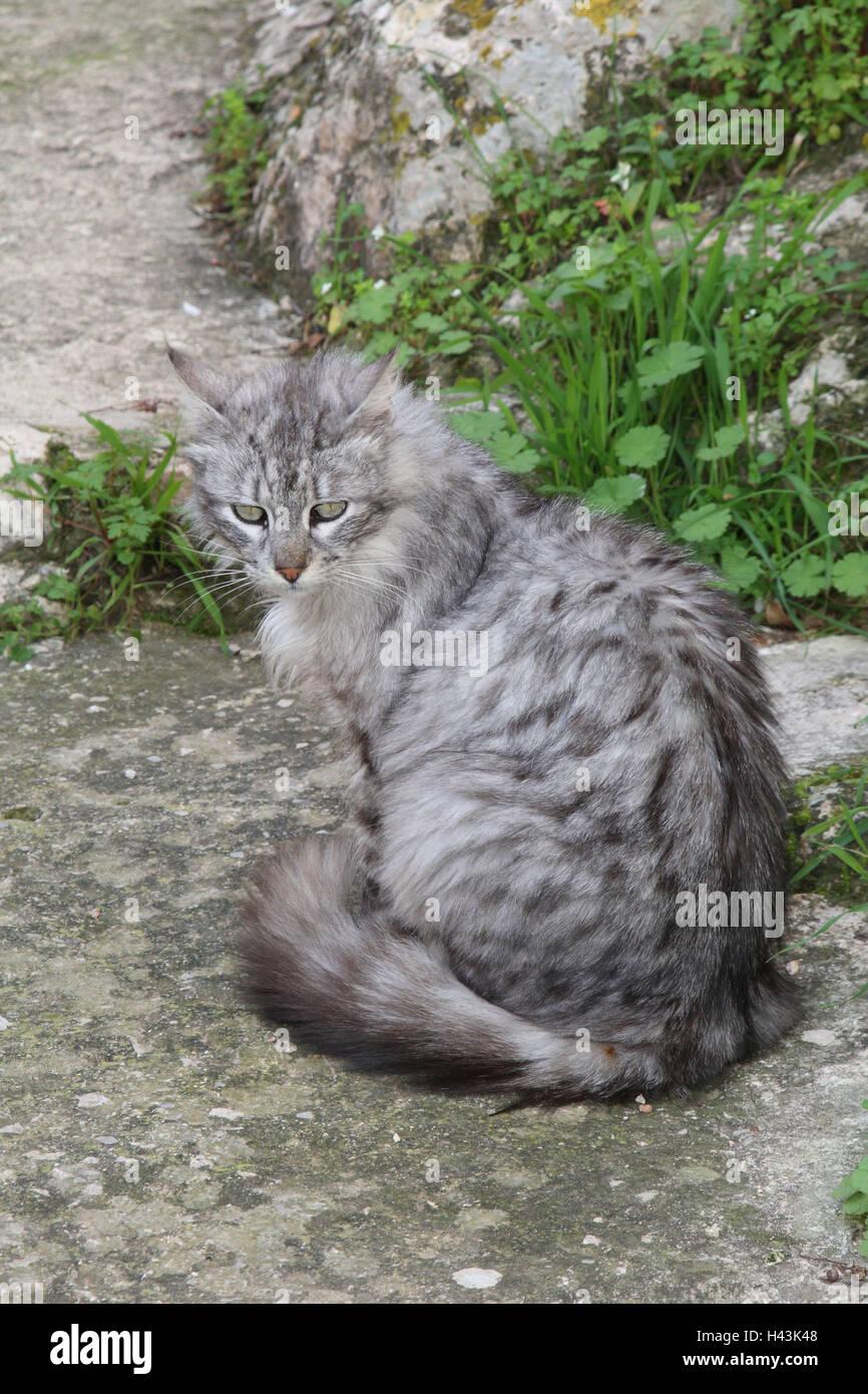 Gatti, capelli lunghi, grigio a strisce, sedersi, animali mammiferi, animali domestici, gatti piccoli, Felidae, Immagini Stock