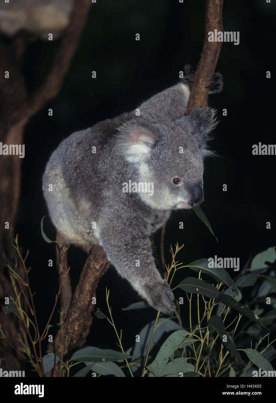 Il ramo, koala, Phascolarctos cinereus, mangiare, l'Australia, il mondo animale, la fauna animale selvatico, Immagini Stock
