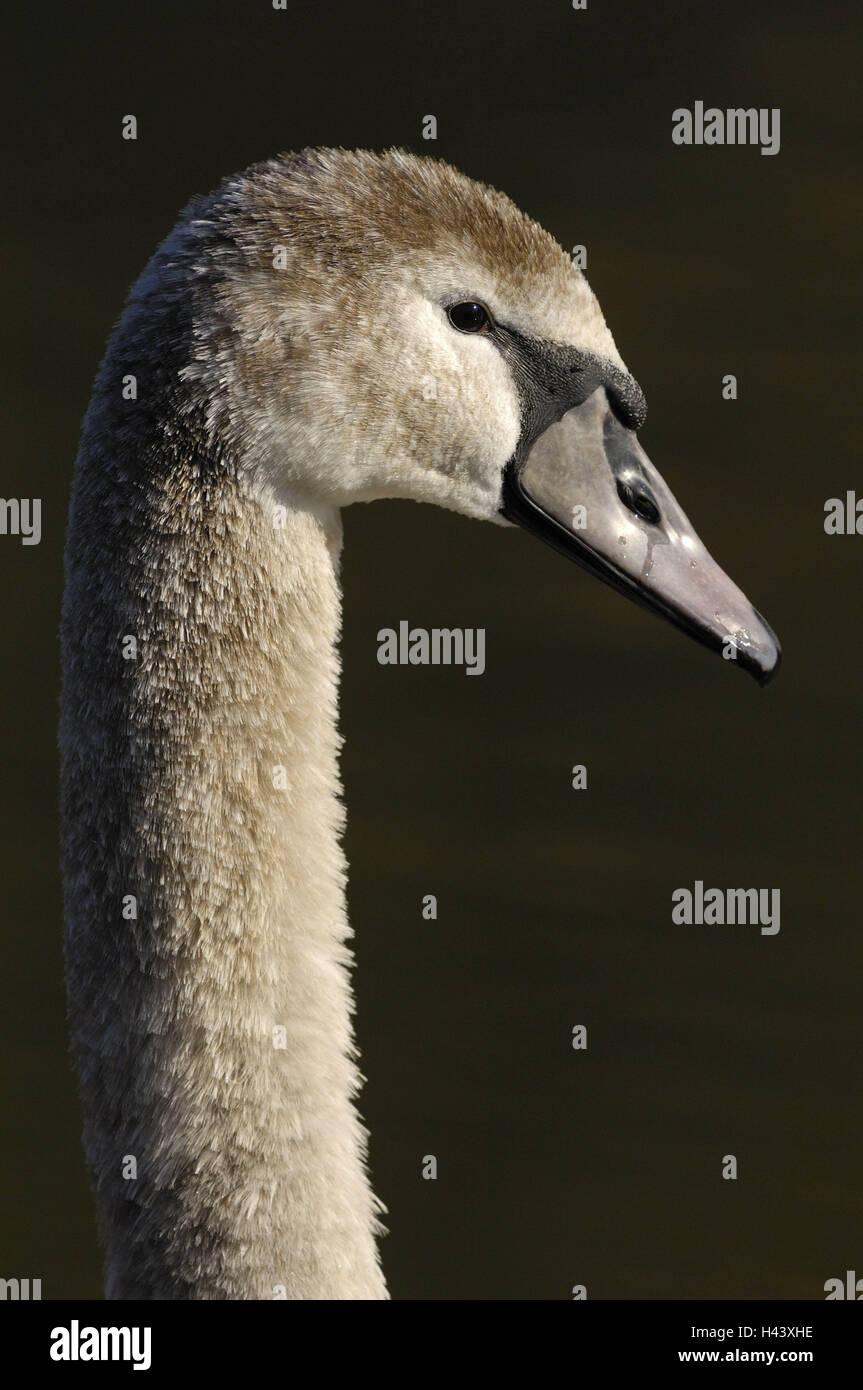 Gobba swan, Cygnus olor, giovane animale, testa, dettaglio, mondo animale, bird, acqua bird, anatids, piumaggio, Immagini Stock