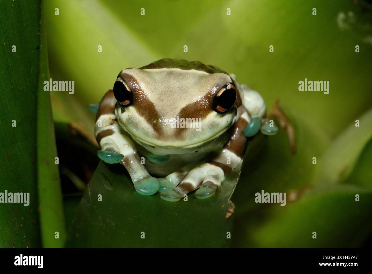 Rospo Rana Fogliame, foglie, sedersi, ritratto, tree box-Rospo Rana fogliame, rana, fogliame frog, rana anfibio Immagini Stock