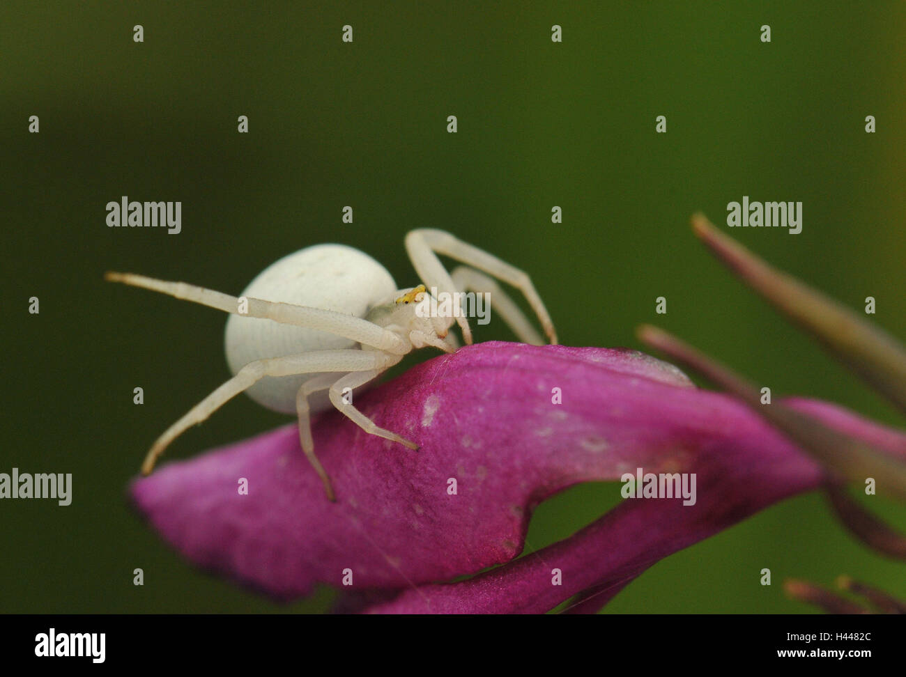 Variabile perno di granchio, bianco, femmine, blossom, malva, Immagini Stock