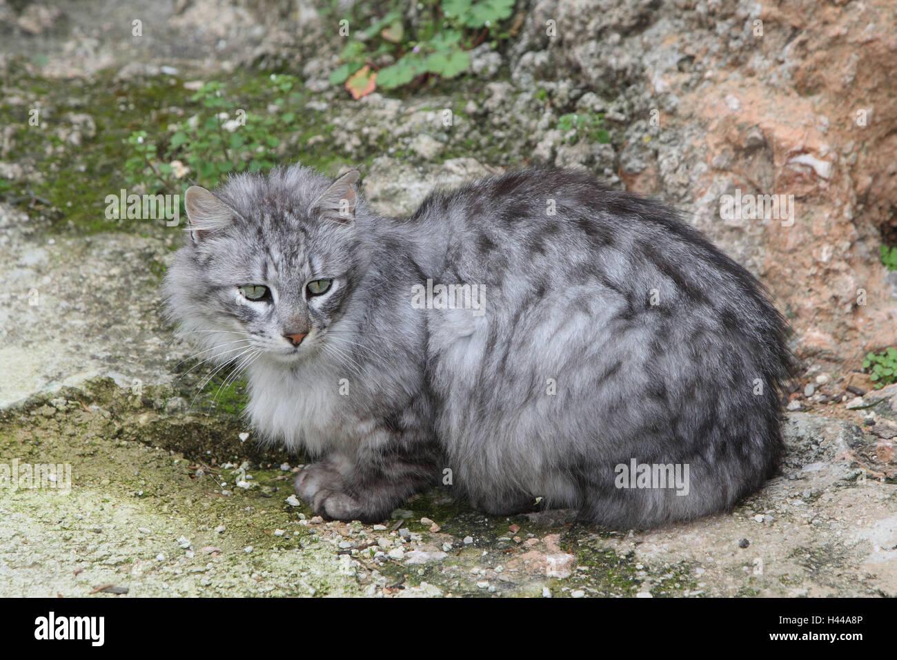 Gatti, capelli lunghi, grigio a strisce, Crouch, animali mammiferi, animali domestici, gatti piccoli, Felidae, di Immagini Stock