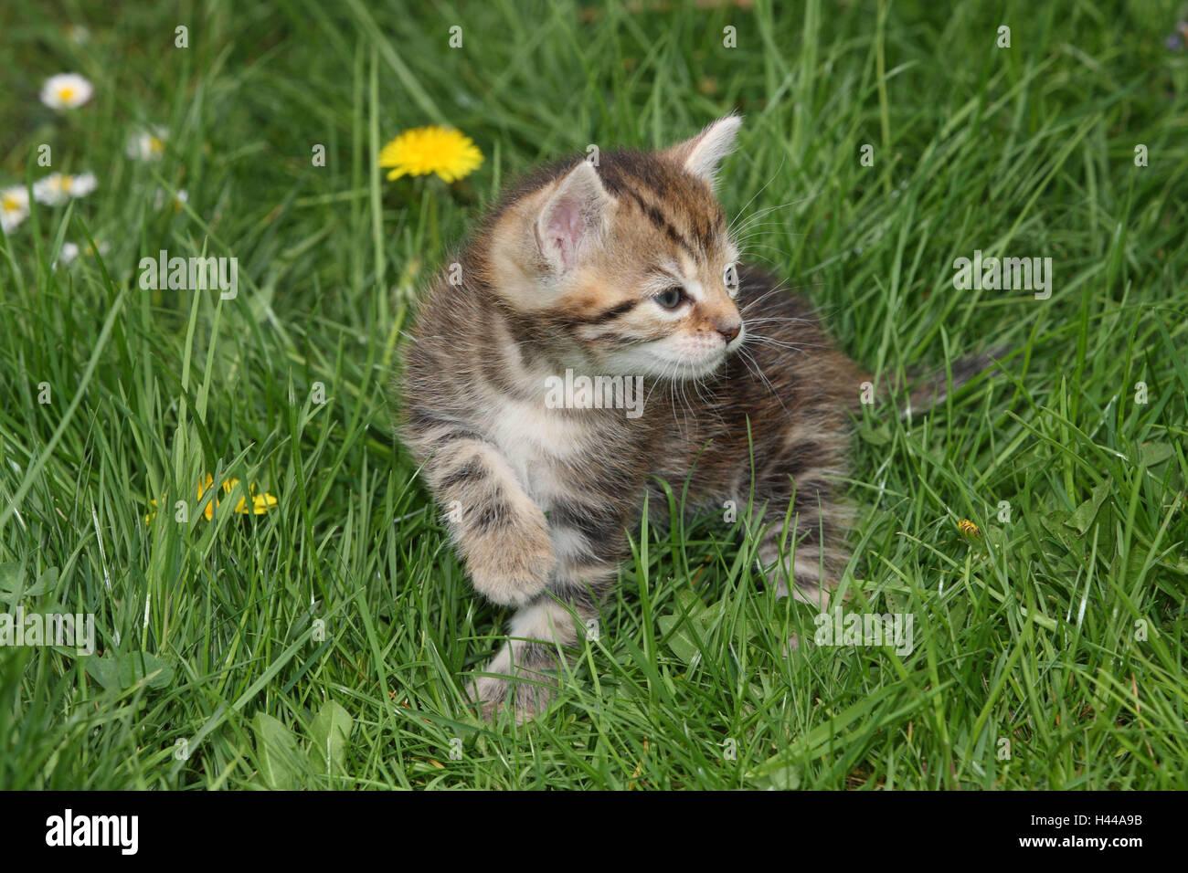 Gatto, giovani, esegui, prato, giardino, animali mammiferi, animali domestici, gatti piccoli, Felidae, addomestica, Immagini Stock